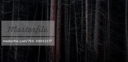 Pine forest after forest fire, Wareham Forest, Doreset, England