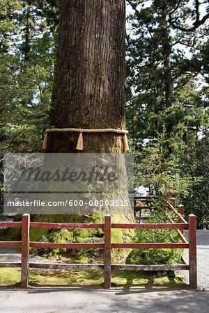 800 year old Cedar tree with yellow straw rope at Hakone Shrine on Lake Ashi