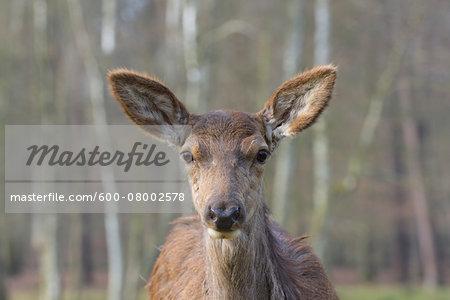 Close-up portrait of Red deer (Cervus elaphus) in Early Spring, Female, Hesse, Germany