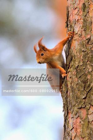 Close-up portrait of Red Squirrel (Sciurus vulgaris) on Tree trunk, Hesse, Germany