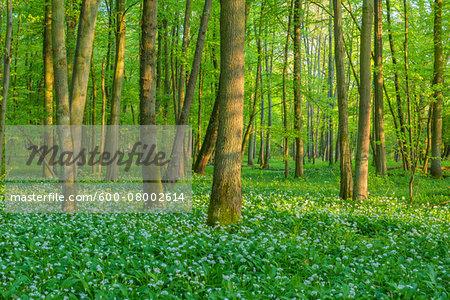 Beech tree (Fagus sylvatica) Forest with Ramson (Allium ursinum) in Spring, Hesse, Germany
