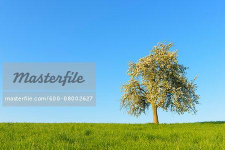 Blooming Apple Tree in field, Odenwald, Hesse, Germany, Europe