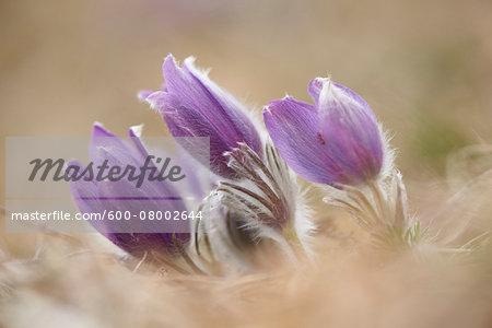 Close-up of a common pasque flower (Pulsatilla vulgaris) flowering in spring, Bavaria, Germany