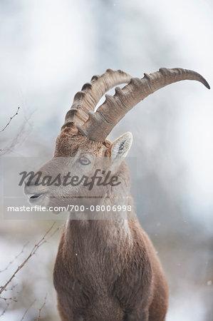 Close-up portrait of an Alpine ibex (Capra ibex) in the Alps of Austria in winter, Styria, Austria