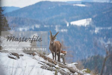 Alpine ibex (Capra ibex) in the Alps of Austria in winter, Styria, Austria