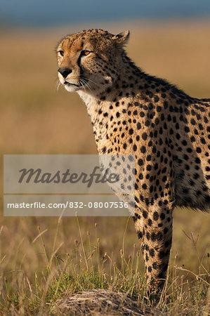 Cheetah, Ol Pejeta Conservancy; Kenya
