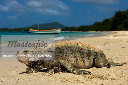 Caribbean, Grenada, Grenadines, Iguana on Paradise Beach; Carriacou Island