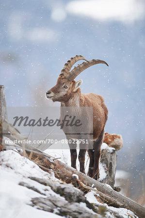 Portrait of Alpine Ibex (Capra ibex) in Winter, Alps, Austria
