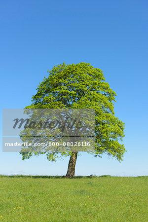 Oak Tree in Spring, Freiensteinau, Vogelsberg District, Hesse, Germany, Europe
