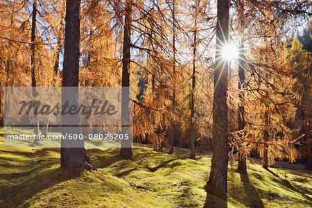 European Larch (Larix decidua) forest in orange autumn colour, backlit with sunbeams, Cadore, Cortina d'Ampezzo, Veneto, Belluno District, Dolomites, European Alps, Italy
