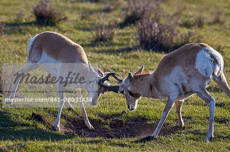 Pronghorn (Antilocapra americana) bucks sparring, Yellowstone National Park, Wyoming, United States of America, North America