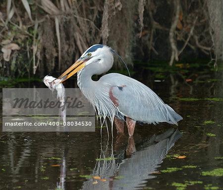 Great Blue Heron Feeding In Florida Wetlands, USA