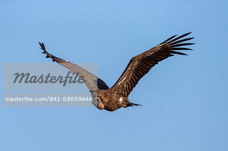 Whitebacked vultures (Gyps africanus), Kruger National Park, South Africa, Africa