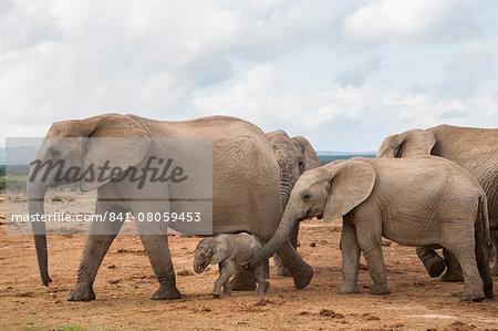 Elephants (Loxodonta africana), herd with newborn calf, Addo Elephant National Park, South Africa, Africa