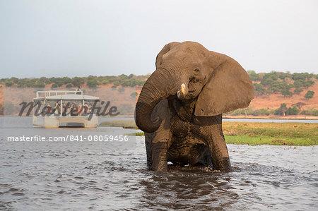 African elephant (Loxodonta africana) and tourists, Chobe National Park, Botswana, Africa