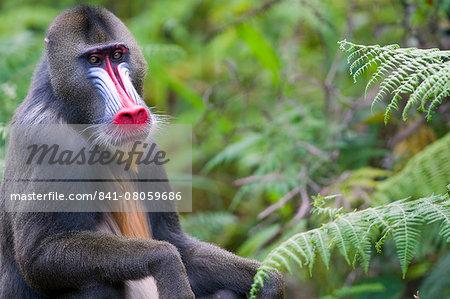 Male mandrill (Mandrill sphinx), Parc de la Lekedi, Haut-Ogooue, Gabon, Africa