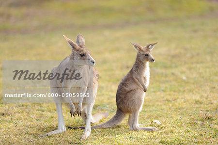 Eastern grey kangaroo (Macropus giganteus) mother with her joey on a meadow in spring, Bavaria, Germany