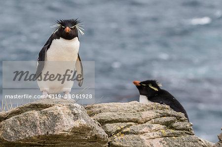Adult rockhopper penguin (Eudyptes chrysocome) at nesting site on New Island, Falkland Islands, U.K. Overseas Protectorate, South America