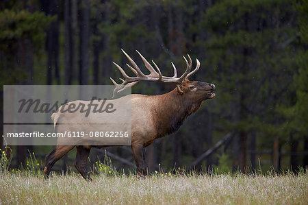 Bull elk (Cervus canadensis) bugling in the fall, Jasper National Park, UNESCO World Heritage Site, Alberta, Canada, North America