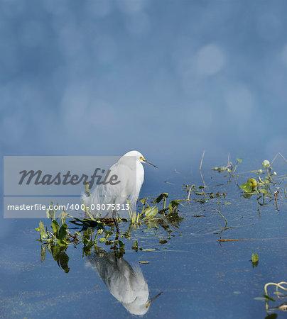 Snowy Egret (Egretta thula) In Florida Wetlands