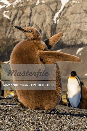 King penguin chick (Aptenodytes patagonicus), ecstatic display in Gold Harbor, South Georgia, Polar Regions
