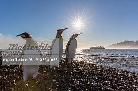 King penguins (Aptenodytes patagonicus) at sunrise, in St. Andrews Bay, South Georgia, Polar Regions