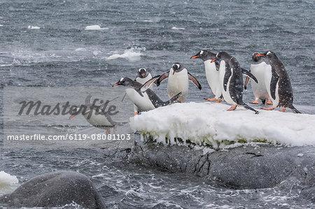 Gentoo penguins (Pygoscelis papua) returning to sea from breeding colony at Port Lockroy, Antarctica, Polar Regions