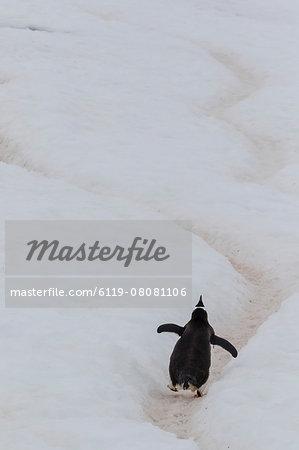 Gentoo penguin (Pygoscelis papua) climbing penguin highway on Cuverville Island, Antarctica, Polar Regions