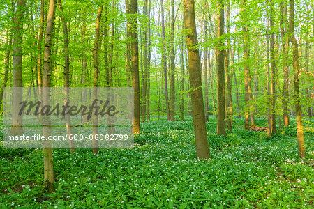 European Beech Forest (Fagus sylvatica) with Ramson (Allium ursinum) in Spring, Hesse, Germany