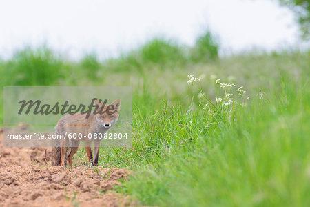 Red Fox (Vulpes vulpes), Hesse, Germany