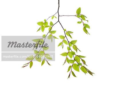 Branch of European Hornbeam (Carpinus betulus) on White Background, Studio Shot