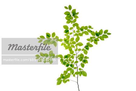 Branch of European Beech Tree (Fagus sylvatica) on White Background, Studio Shot