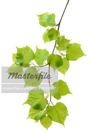 Lime Tree (Tilia) Leaves on White Background, Studio Shot