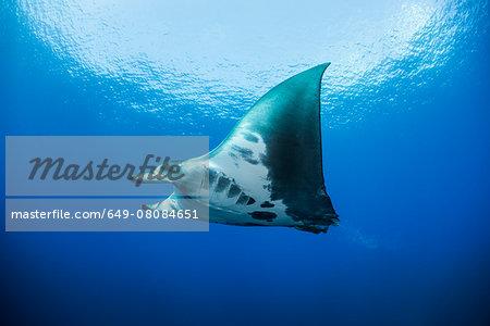 Reef manta ray (Manta alfredi) swimming around an underwater pinnacle north of the Yucatan Peninsula, Cabo Catoche, Quintana Roo, Mexico