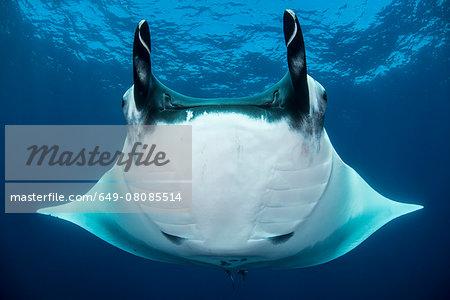 Oceanic manta rays (Manta birostris), San Benedicto, Revillagigedo, Mexico