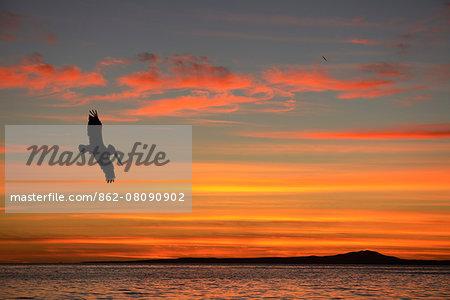 Pelican at sunrise, Sea of Cortez, La Ventanaz, Baja California, Mexico