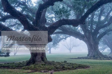 USA, Louisiana, St. James Parish, Vacherie, Oak Alley Plantation, live oak trees in the fog