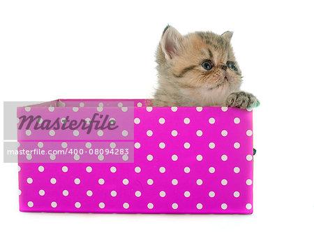 kitten exotic shorthair in front of white background