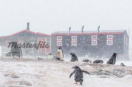Gentoo penguin (Pygoscelis papua) breeding colony in snow storm at Port Lockroy, Antarctica, Polar Regions
