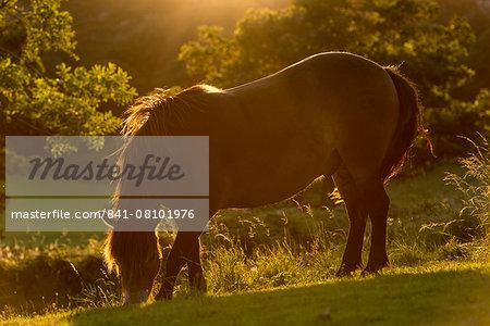 Free roaming Exmoor Pony backlit by the evening summer sunshine, Exmoor National Park, Devon, England, United Kingdom, Europe