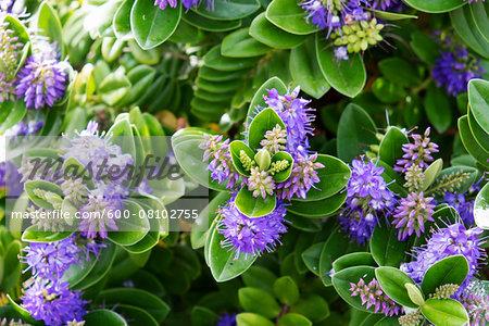 Close-up of flowering plant, Aran Islands, Republic of Ireland