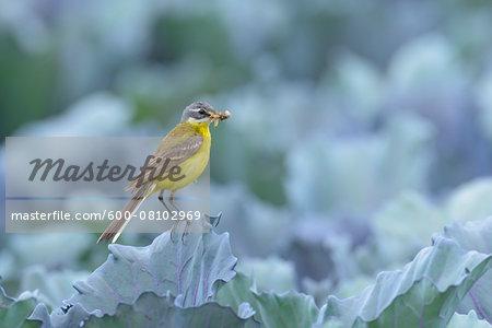 Male Western Yellow Wagtail (Motacilla flava), Hesse, Germany