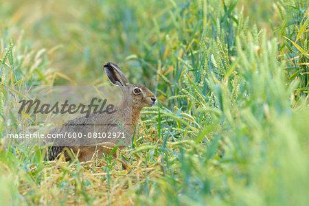 European Brown Hare (Lepus europaeus) in Corn Field in Summer, Hesse, Germany