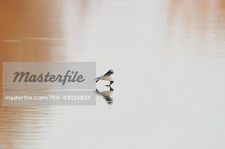 Portrait of Flying Black-headed Gull (Chroicocephalus ridibundus) in Spring, Bavaria, Germany