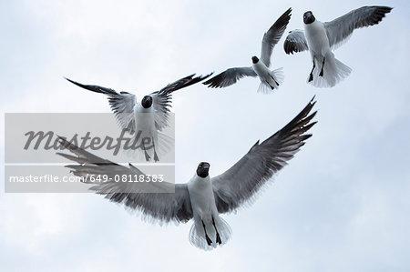Four black-headed gulls (chroicocephalus ridibundusflying) overhead