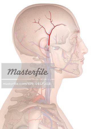 Human artery, computer illustration.