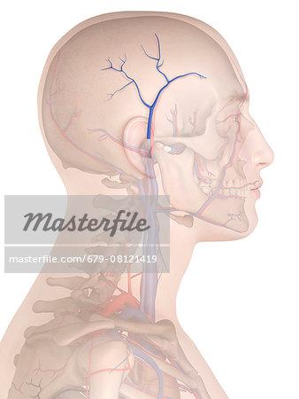 Human veins, computer illustration.