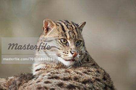 Portrait of a fishing cat (Prionailurus viverrinus) in spring, Bavaria, Germany