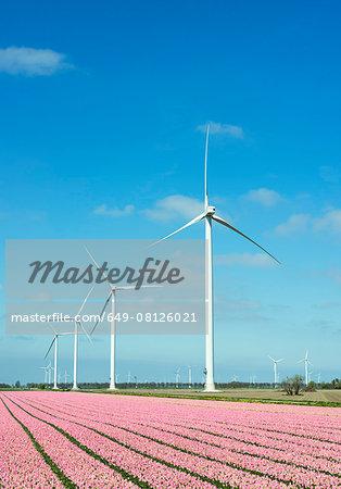 Rows of pink flower blooms and wind turbines, Zeewolde, Flevoland, Netherlands
