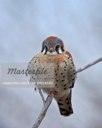 American kestrel (sparrow hawk) (Falco sparverius), male, Bosque del Apache National Wildlife Refuge, New Mexico, United States of America, North America
